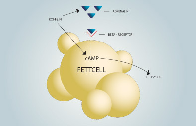 Illustration över fettcell